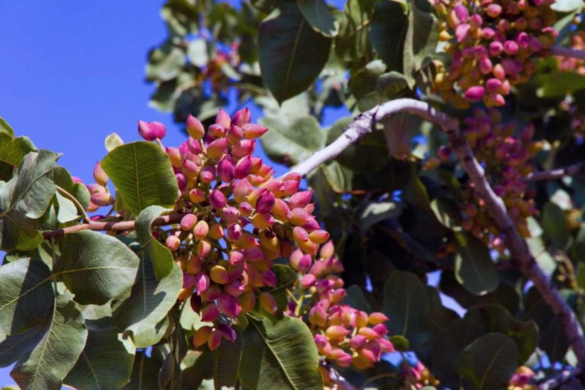 Φιστίκι Αιγίνης - pistachio of Aegina