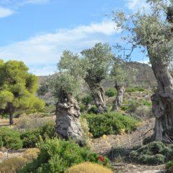 Ελαιώνας Αίγινας - Κοιλάδα του Ελαιώνα - Greek Gastronomy Guide