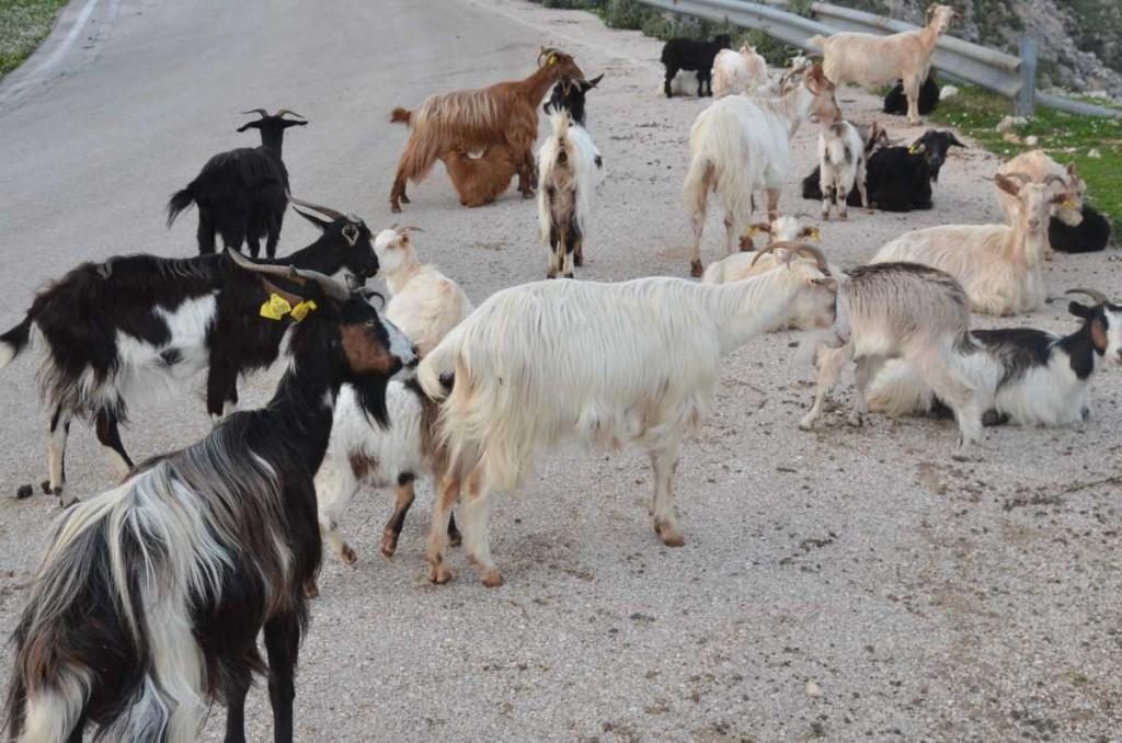 Κτηνοτροφία Κεφαλονιάς