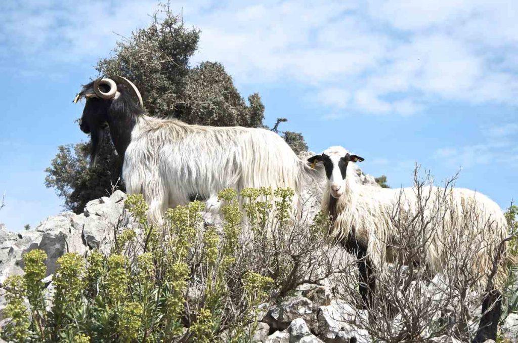 Ποιμενικός βίος - Κτηνοτροφία Κρήτης