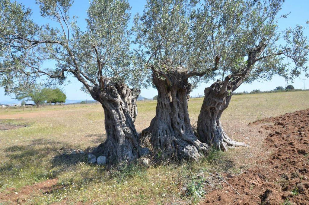 Οι υπεραιωνόβιες ελιές της Ερμιόνης - Greek Gastronomy Guide